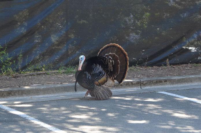 berkeley-turkey-parking-c-w-bound