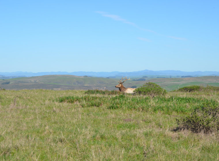 point-reyes-tomales-point-wapiti-male-c-w-bound